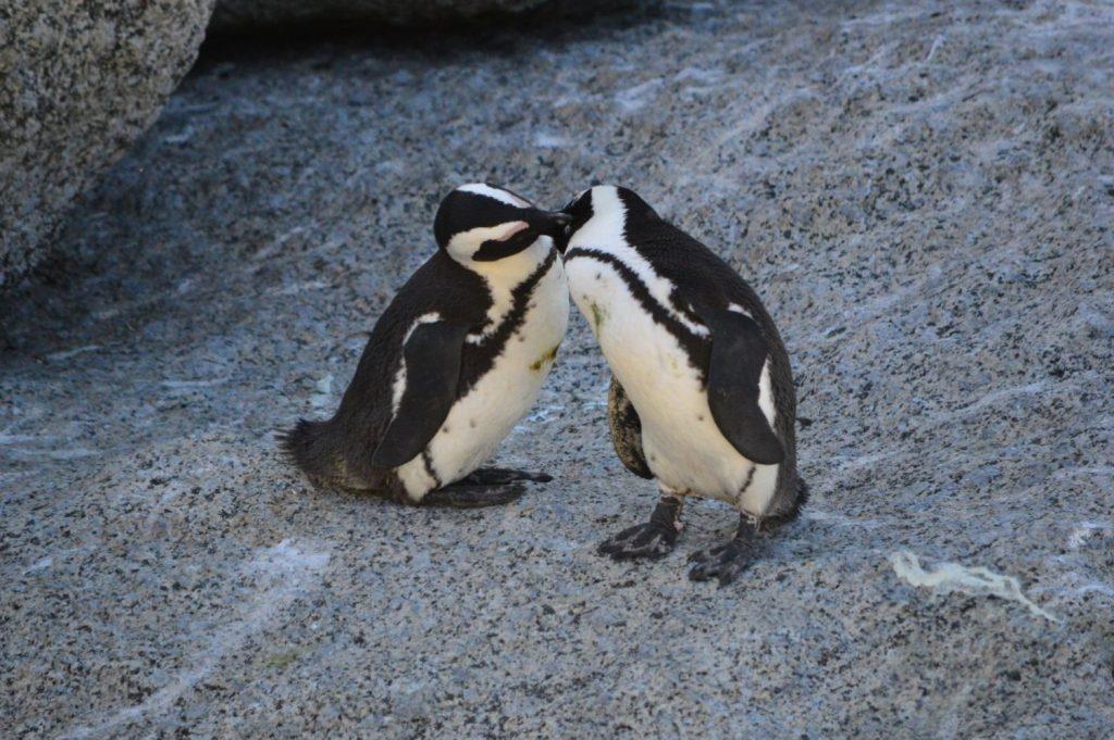 Pinguini del Sudafrica a Città del Capo